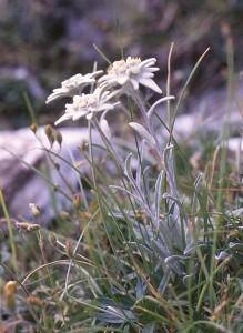 Leontopodium_alpinum_Franz_Xaver