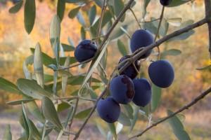 Olive pronte per la raccolta_Aracuano